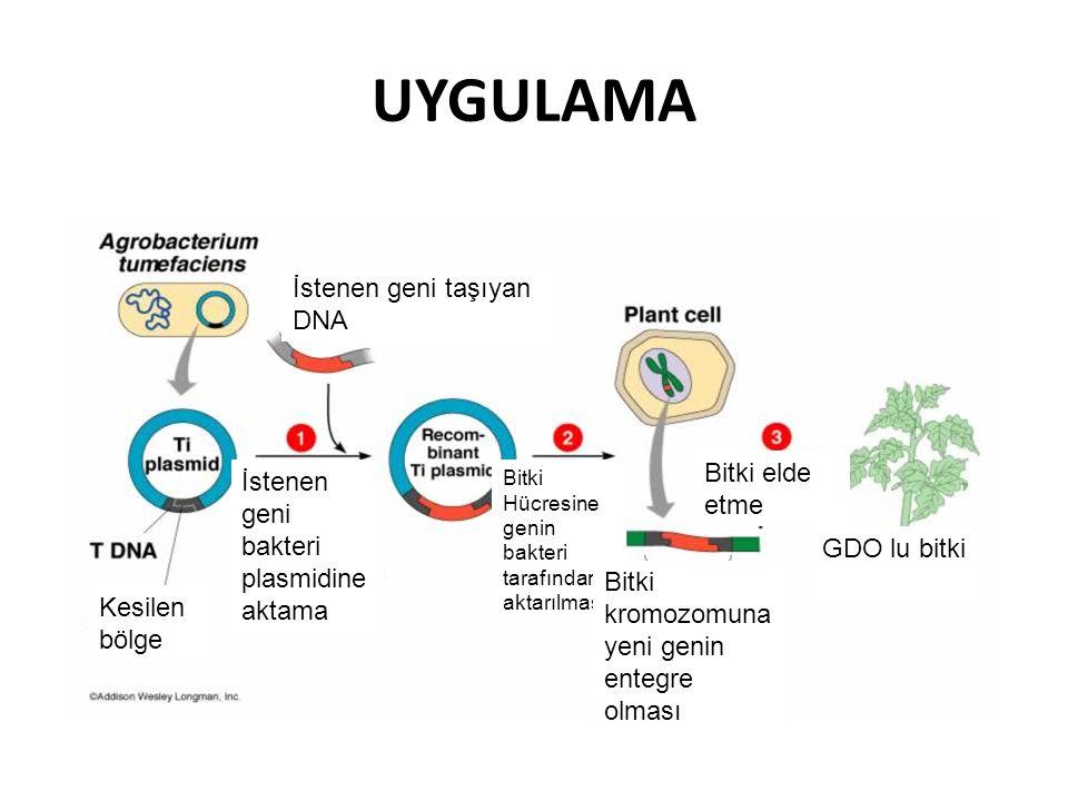 UYGULAMA İstenen geni taşıyan DNA Bitki elde İstenen etme geni bakteri