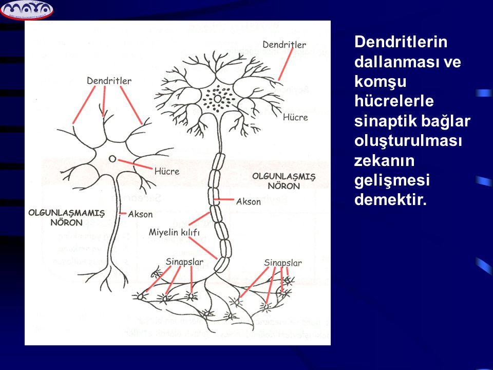 Dendritlerin dallanması ve komşu hücrelerle sinaptik bağlar oluşturulması zekanın gelişmesi demektir.