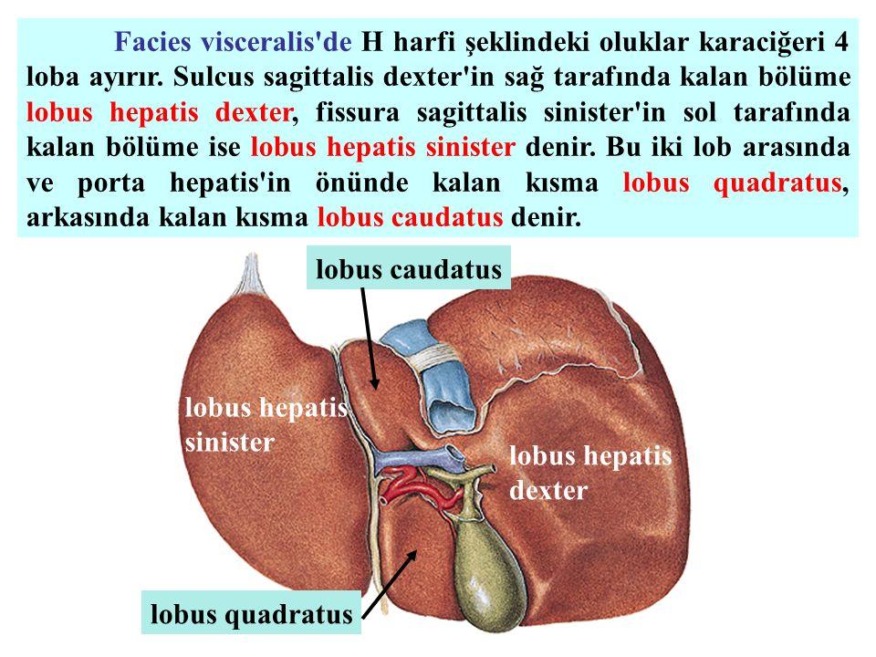 Facies visceralis de H harfi şeklindeki oluklar karaciğeri 4 loba ayırır. Sulcus sagittalis dexter in sağ tarafında kalan bölüme lobus hepatis dexter, fissura sagittalis sinister in sol tarafında kalan bölüme ise lobus hepatis sinister denir. Bu iki lob arasında ve porta hepatis in önünde kalan kısma lobus quadratus, arkasında kalan kısma lobus caudatus denir.
