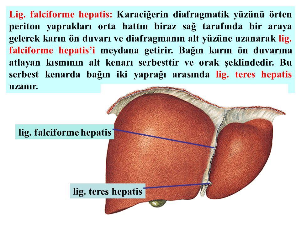 Lig. falciforme hepatis: Karaciğerin diafragmatik yüzünü örten periton yaprakları orta hattın biraz sağ tarafında bir araya gelerek karın ön duvarı ve diafragmanın alt yüzüne uzanarak lig. falciforme hepatis'i meydana getirir. Bağın karın ön duvarına atlayan kısmının alt kenarı serbesttir ve orak şeklindedir. Bu serbest kenarda bağın iki yaprağı arasında lig. teres hepatis uzanır.
