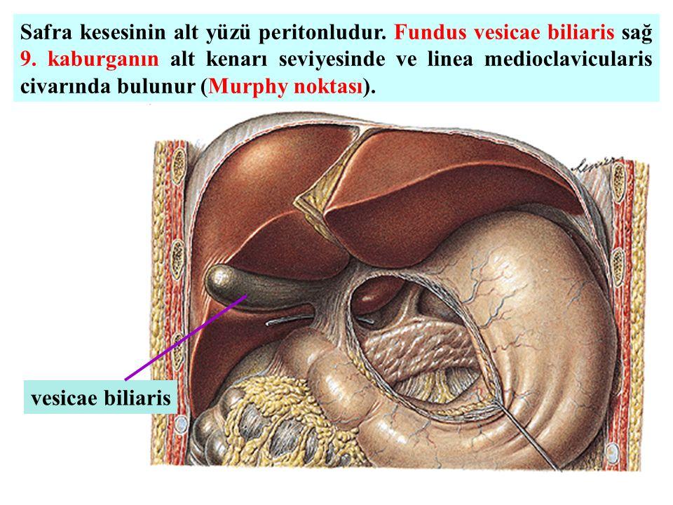Safra kesesinin alt yüzü peritonludur. Fundus vesicae biliaris sağ 9