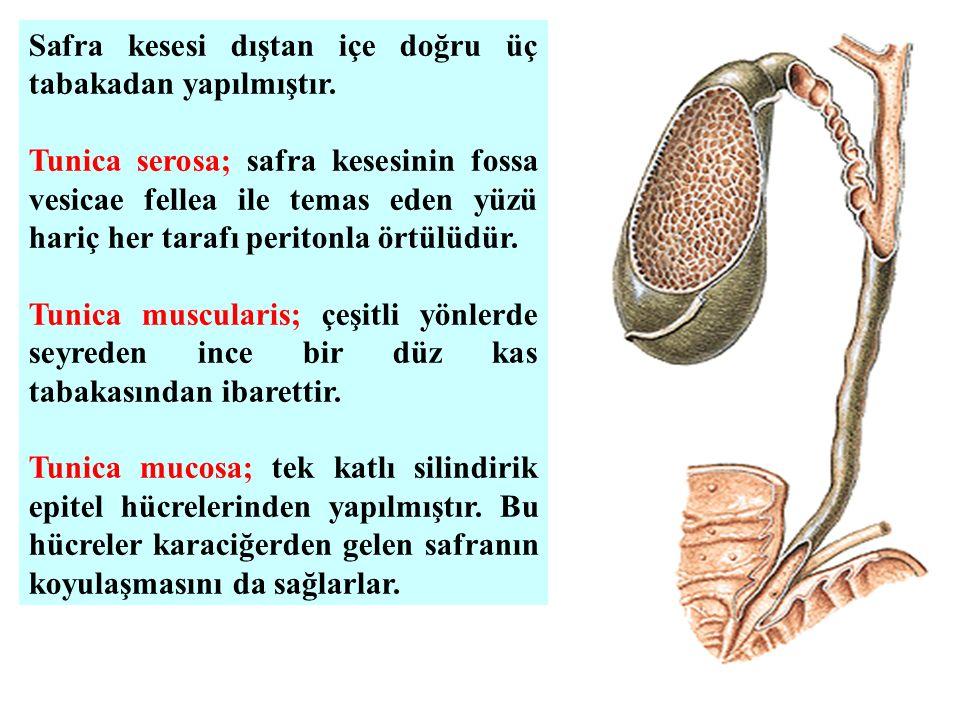 Safra kesesi dıştan içe doğru üç tabakadan yapılmıştır.