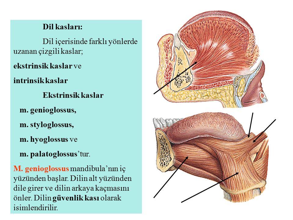 Dil kasları: Dil içerisinde farklı yönlerde uzanan çizgili kaslar; ekstrinsik kaslar ve. intrinsik kaslar.