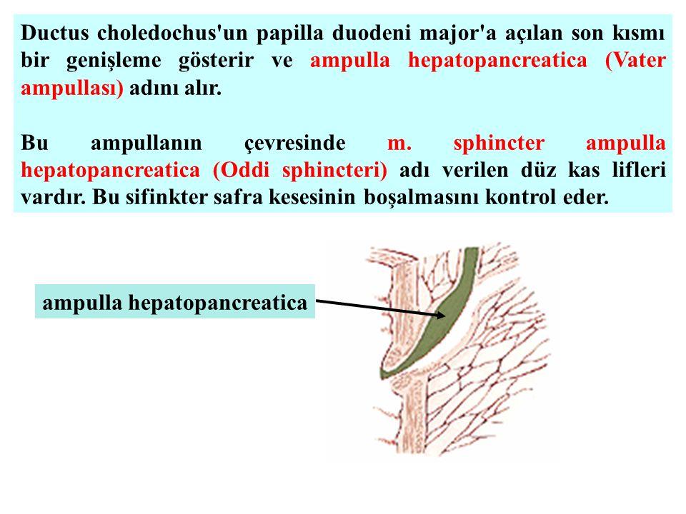 Ductus choledochus un papilla duodeni major a açılan son kısmı bir genişleme gösterir ve ampulla hepatopancreatica (Vater ampullası) adını alır.