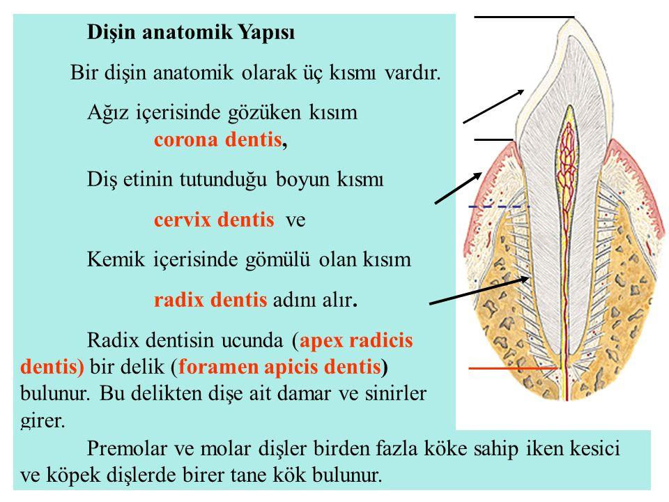 Dişin anatomik Yapısı Bir dişin anatomik olarak üç kısmı vardır. Ağız içerisinde gözüken kısım corona dentis,