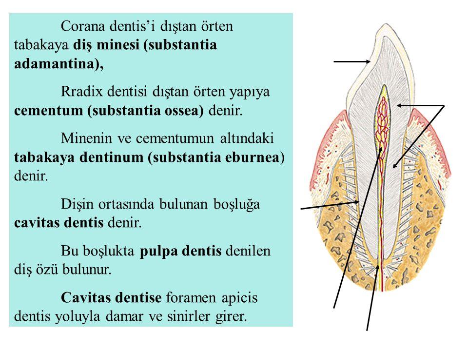 Corana dentis'i dıştan örten tabakaya diş minesi (substantia adamantina),