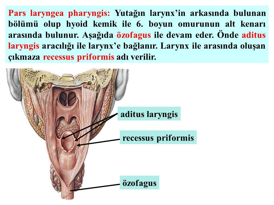 Pars laryngea pharyngis: Yutağın larynx'in arkasında bulunan bölümü olup hyoid kemik ile 6. boyun omurunun alt kenarı arasında bulunur. Aşağıda özofagus ile devam eder. Önde aditus laryngis aracılığı ile larynx'e bağlanır. Larynx ile arasında oluşan çıkmaza recessus priformis adı verilir.