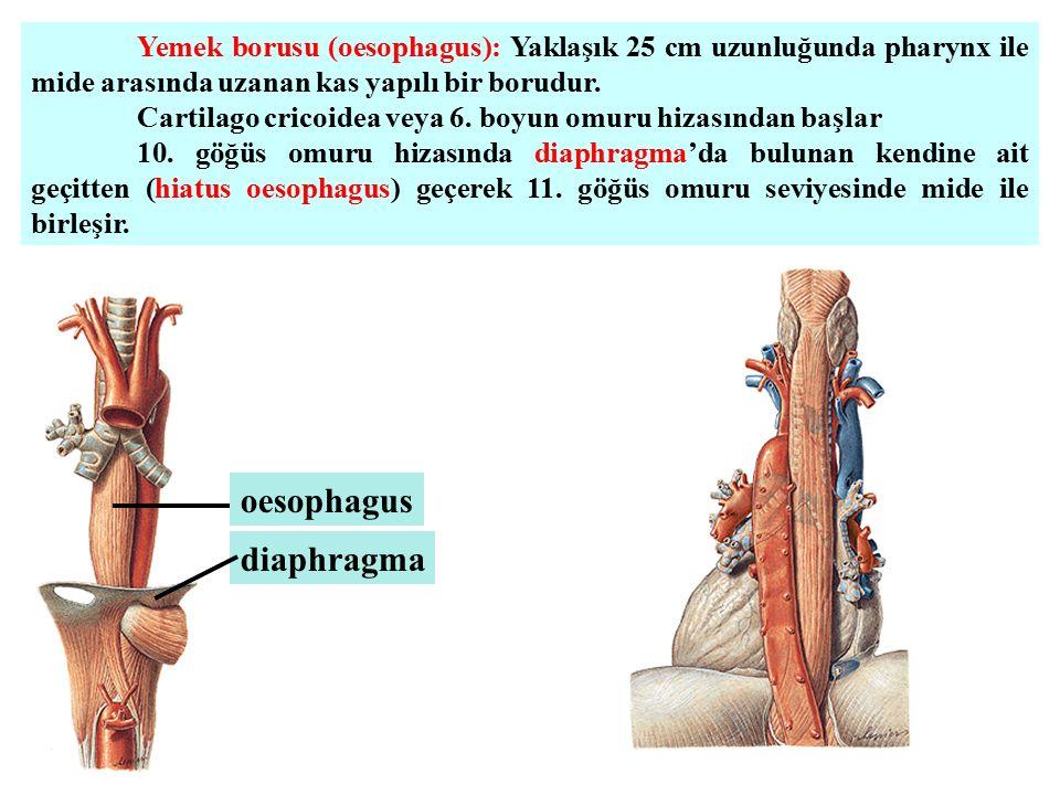 oesophagus diaphragma