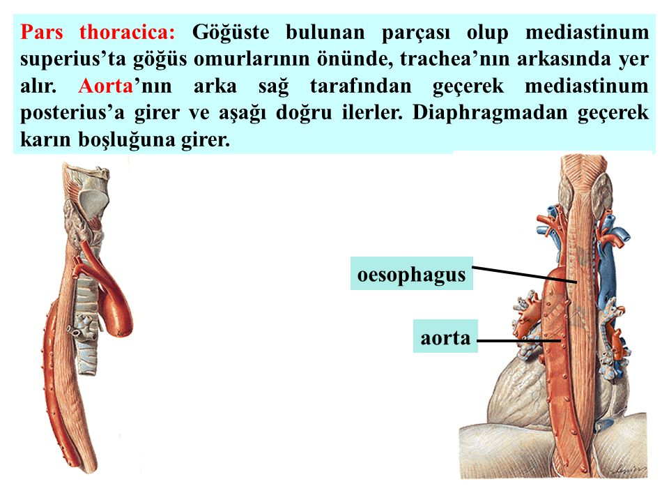 Pars thoracica: Göğüste bulunan parçası olup mediastinum superius'ta göğüs omurlarının önünde, trachea'nın arkasında yer alır. Aorta'nın arka sağ tarafından geçerek mediastinum posterius'a girer ve aşağı doğru ilerler. Diaphragmadan geçerek karın boşluğuna girer.