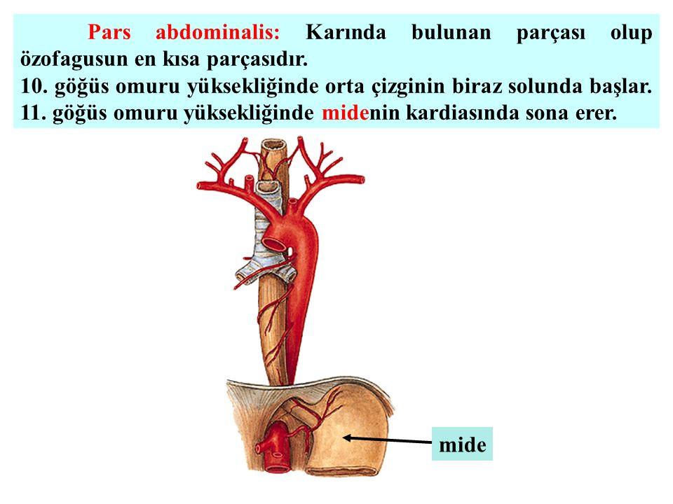 Pars abdominalis: Karında bulunan parçası olup özofagusun en kısa parçasıdır.