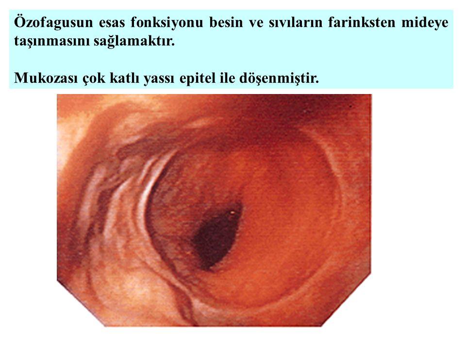 Özofagusun esas fonksiyonu besin ve sıvıların farinksten mideye taşınmasını sağlamaktır.