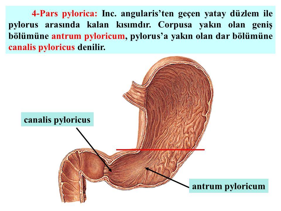 4-Pars pylorica: Inc. angularis'ten geçen yatay düzlem ile pylorus arasında kalan kısımdır. Corpusa yakın olan geniş bölümüne antrum pyloricum, pylorus'a yakın olan dar bölümüne canalis pyloricus denilir.