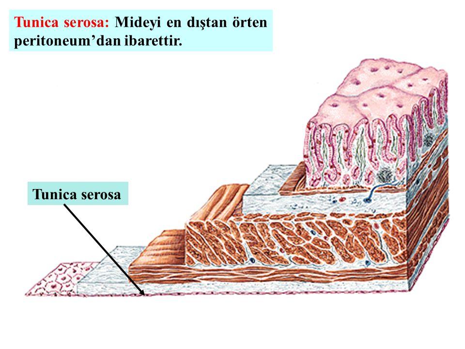 Tunica serosa: Mideyi en dıştan örten peritoneum'dan ibarettir.