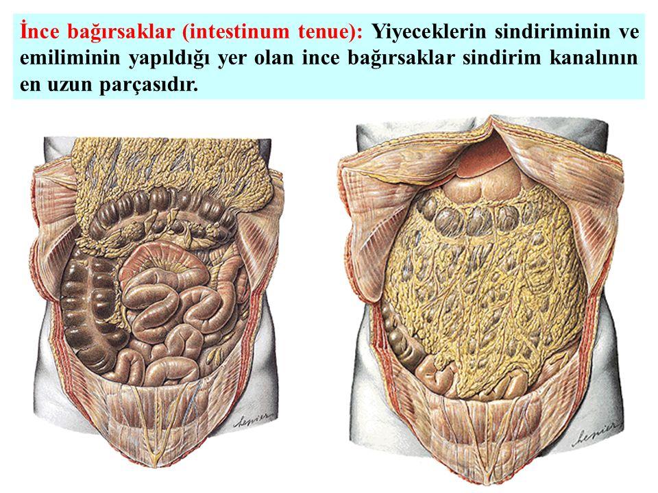 İnce bağırsaklar (intestinum tenue): Yiyeceklerin sindiriminin ve emiliminin yapıldığı yer olan ince bağırsaklar sindirim kanalının en uzun parçasıdır.