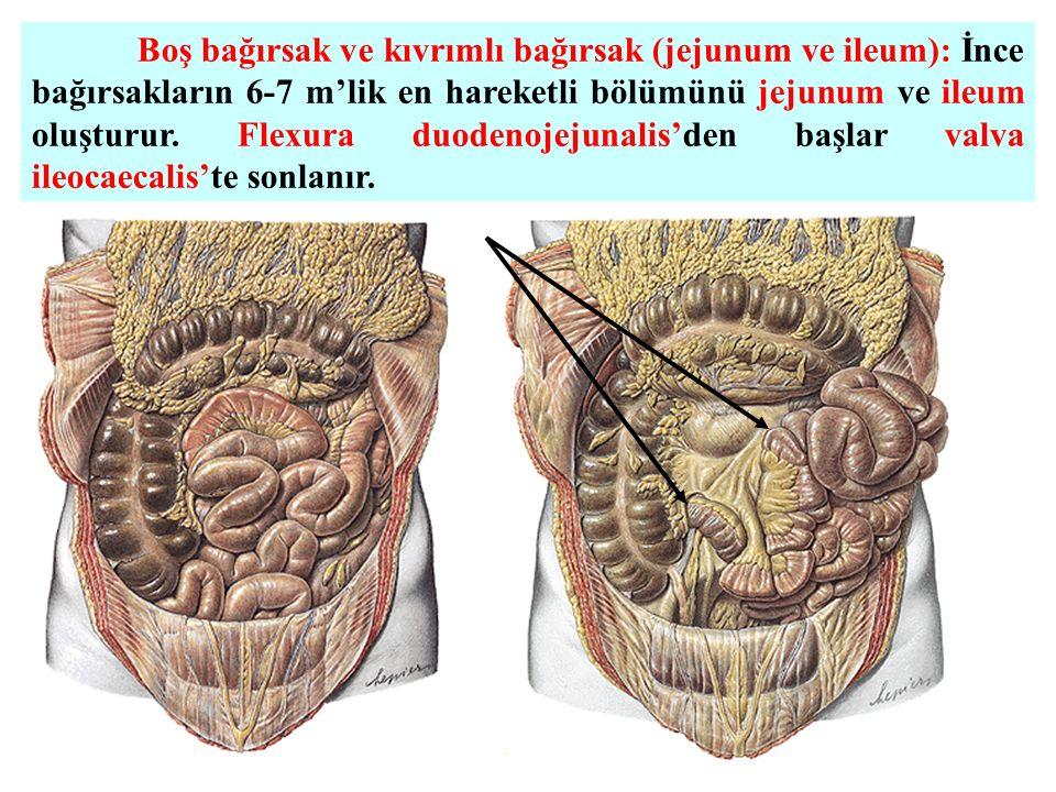 Boş bağırsak ve kıvrımlı bağırsak (jejunum ve ileum): İnce bağırsakların 6-7 m'lik en hareketli bölümünü jejunum ve ileum oluşturur.