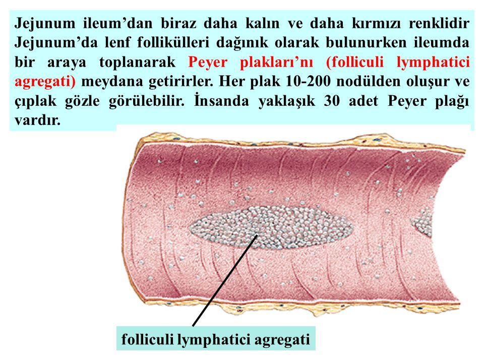 Jejunum ileum'dan biraz daha kalın ve daha kırmızı renklidir Jejunum'da lenf follikülleri dağınık olarak bulunurken ileumda bir araya toplanarak Peyer plakları'nı (folliculi lymphatici agregati) meydana getirirler. Her plak 10-200 nodülden oluşur ve çıplak gözle görülebilir. İnsanda yaklaşık 30 adet Peyer plağı vardır.