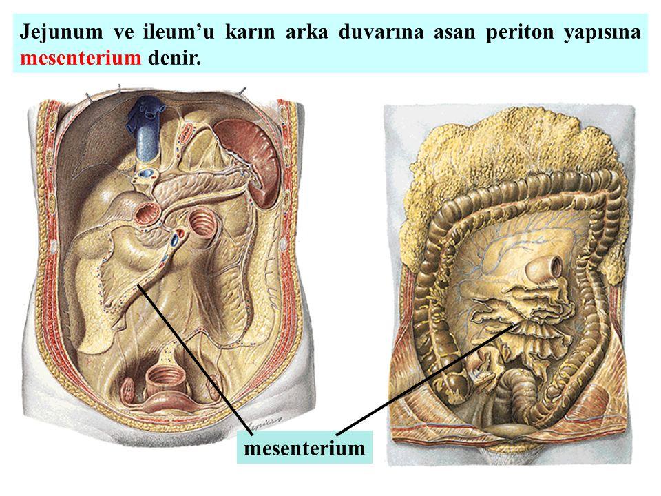 Jejunum ve ileum'u karın arka duvarına asan periton yapısına mesenterium denir.