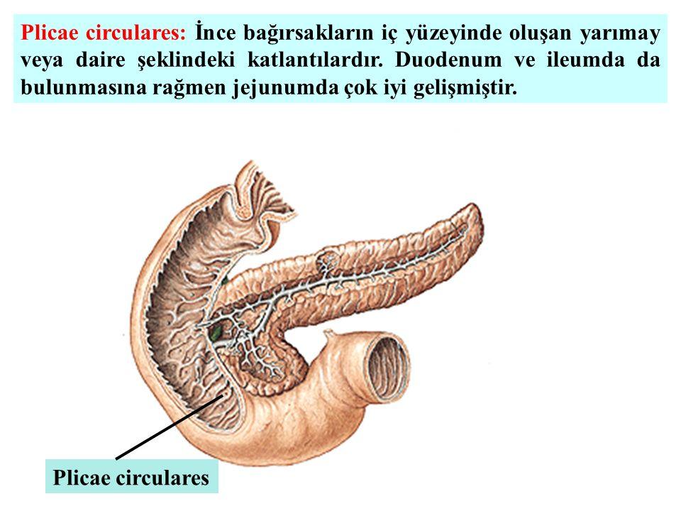 Plicae circulares: İnce bağırsakların iç yüzeyinde oluşan yarımay veya daire şeklindeki katlantılardır. Duodenum ve ileumda da bulunmasına rağmen jejunumda çok iyi gelişmiştir.