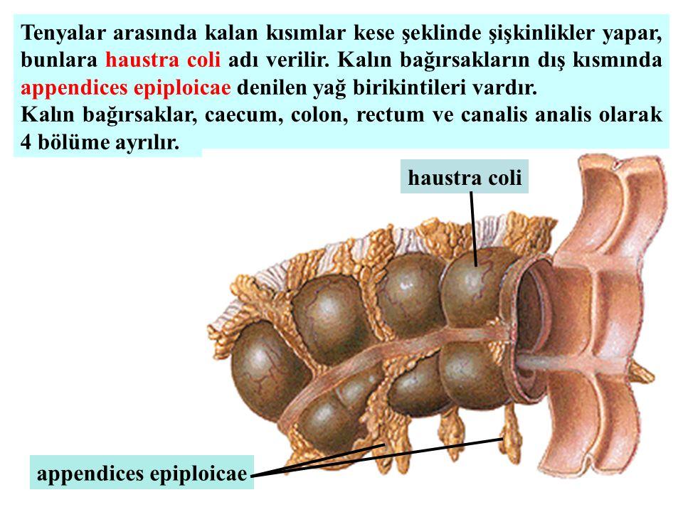 Tenyalar arasında kalan kısımlar kese şeklinde şişkinlikler yapar, bunlara haustra coli adı verilir. Kalın bağırsakların dış kısmında appendices epiploicae denilen yağ birikintileri vardır.