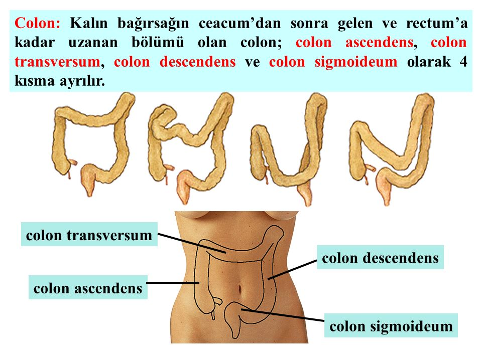 Colon: Kalın bağırsağın ceacum'dan sonra gelen ve rectum'a kadar uzanan bölümü olan colon; colon ascendens, colon transversum, colon descendens ve colon sigmoideum olarak 4 kısma ayrılır.