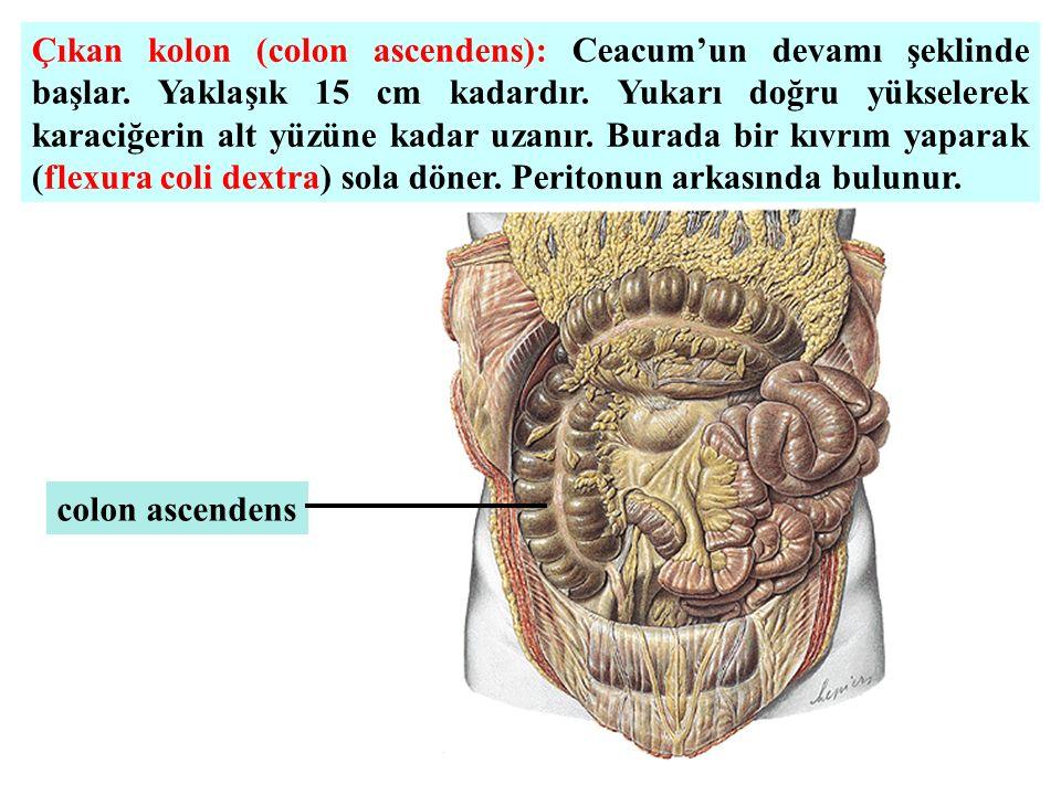 Çıkan kolon (colon ascendens): Ceacum'un devamı şeklinde başlar