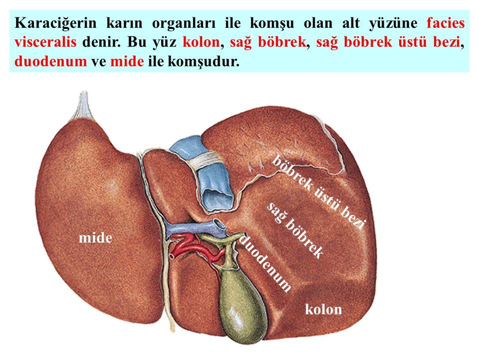 Karaciğerin karın organları ile komşu olan alt yüzüne facies visceralis denir. Bu yüz kolon, sağ böbrek, sağ böbrek üstü bezi, duodenum ve mide ile komşudur.