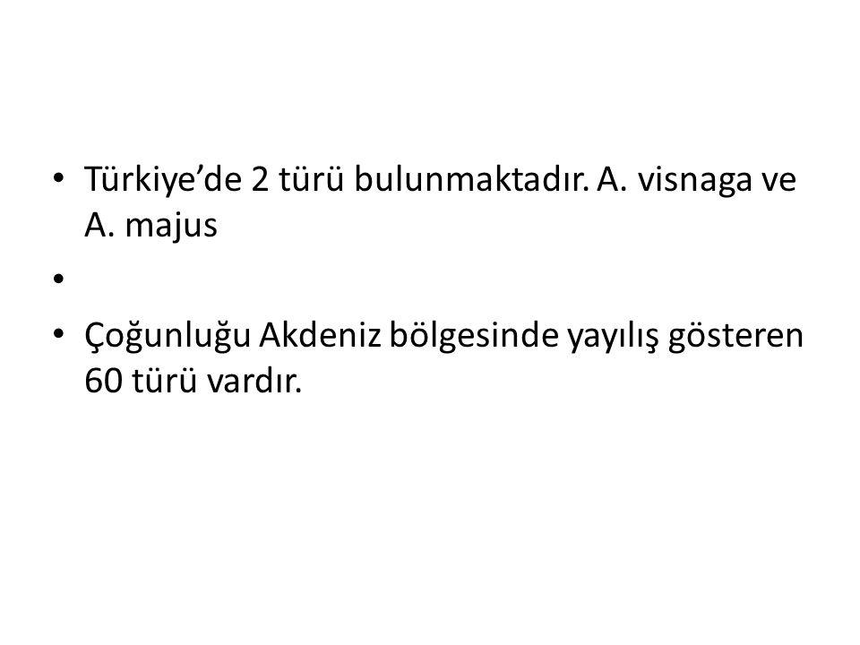 Türkiye'de 2 türü bulunmaktadır. A. visnaga ve A. majus
