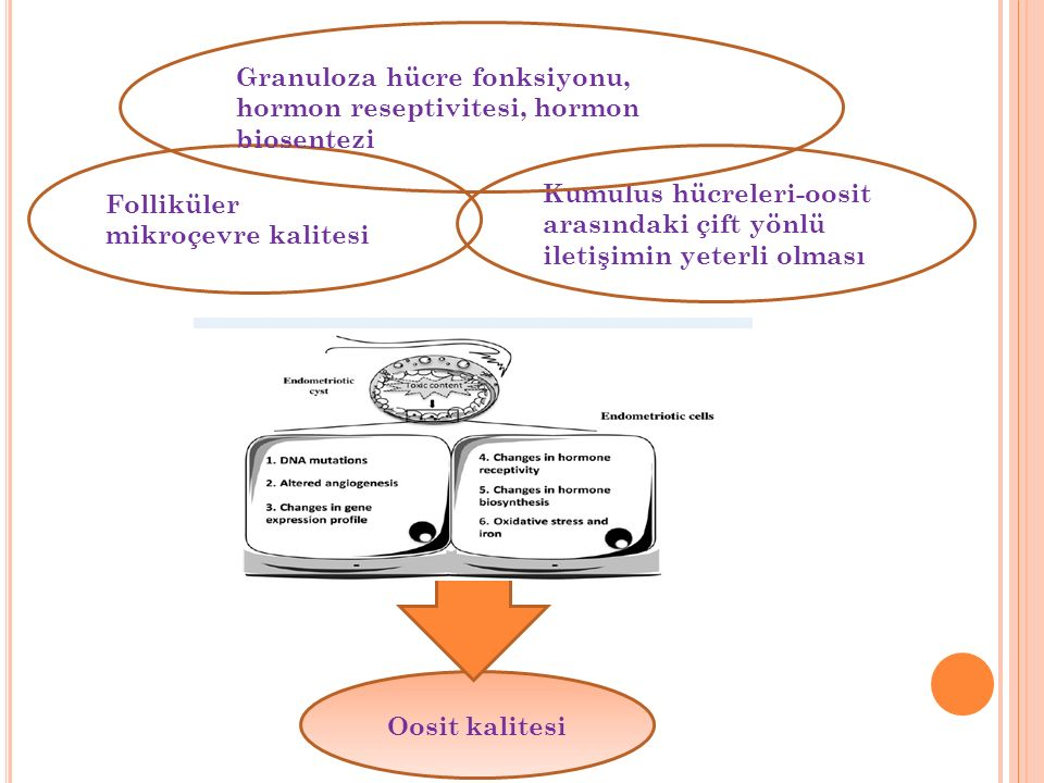 Granuloza hücre fonksiyonu, hormon reseptivitesi, hormon biosentezi