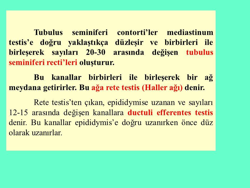 Tubulus seminiferi contorti'ler mediastinum testis'e doğru yaklaştıkça düzleşir ve birbirleri ile birleşerek sayıları 20-30 arasında değişen tubulus seminiferi recti'leri oluşturur.