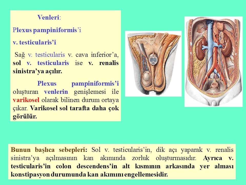 Venleri: Plexus pampiniformis'i v. testicularis'i