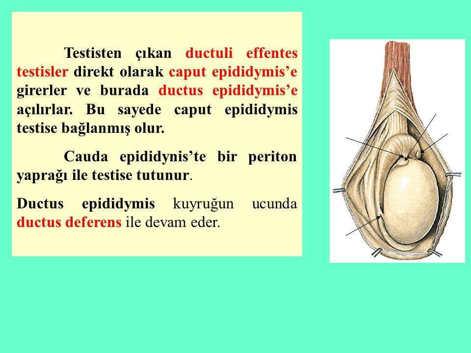 Testisten çıkan ductuli effentes testisler direkt olarak caput epididymis'e girerler ve burada ductus epididymis'e açılırlar. Bu sayede caput epididymis testise bağlanmış olur.