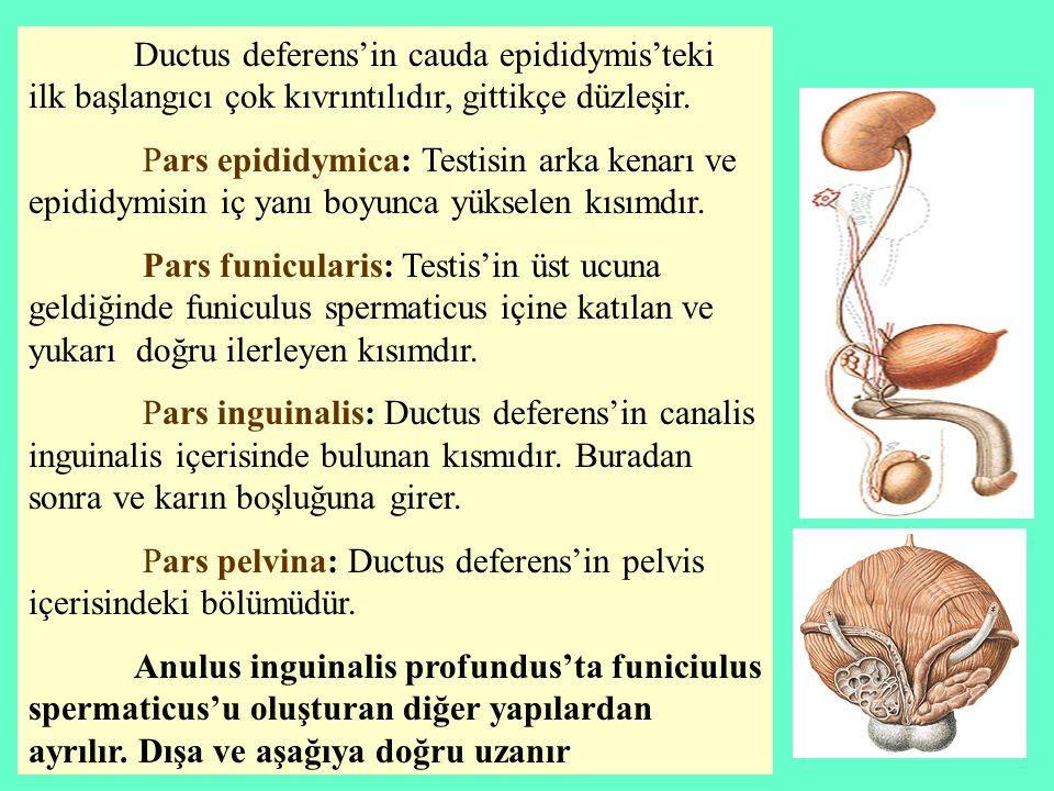 Ductus deferens'in cauda epididymis'teki ilk başlangıcı çok kıvrıntılıdır, gittikçe düzleşir.
