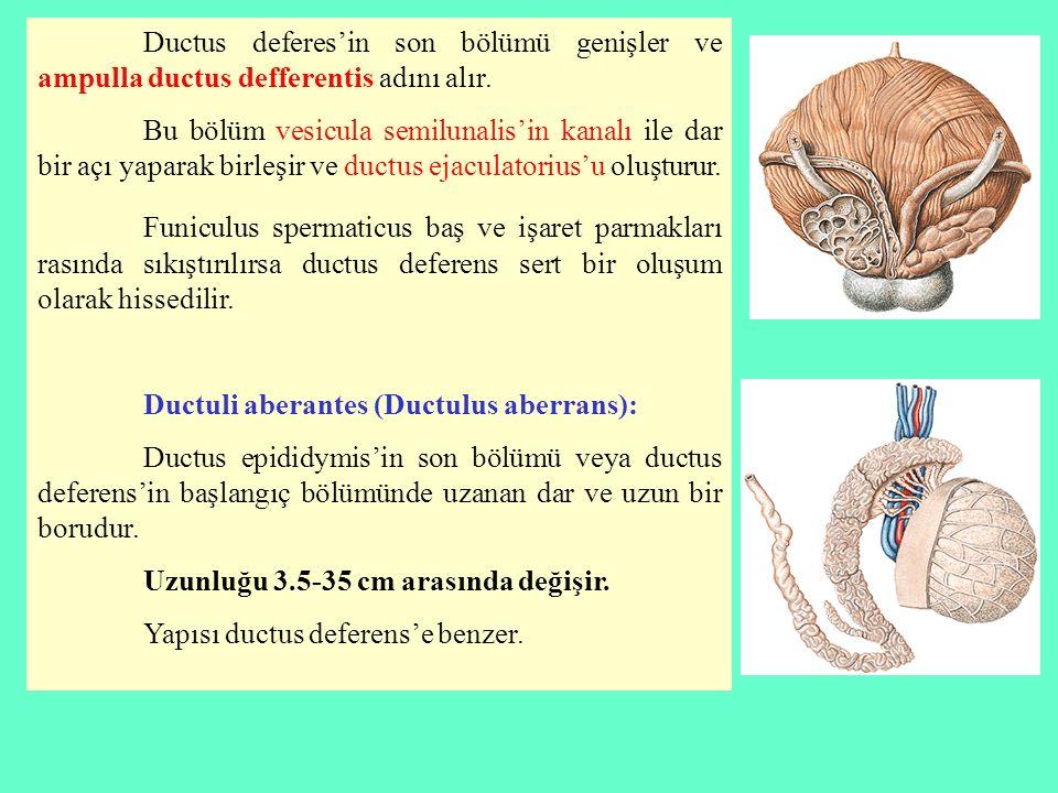 Ductus deferes'in son bölümü genişler ve ampulla ductus defferentis adını alır.