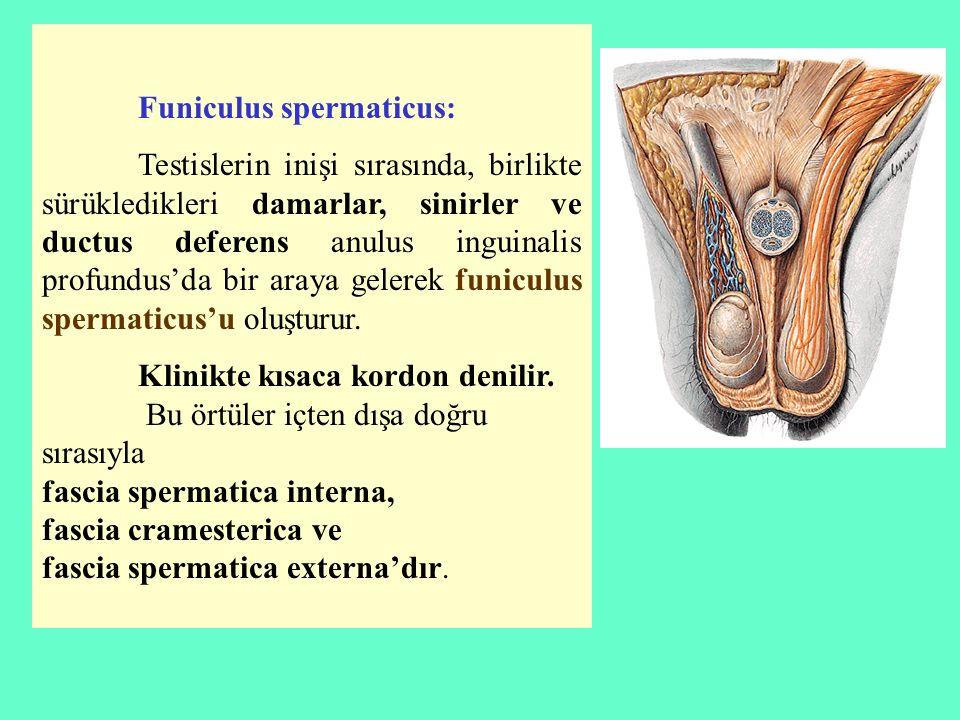 Funiculus spermaticus: