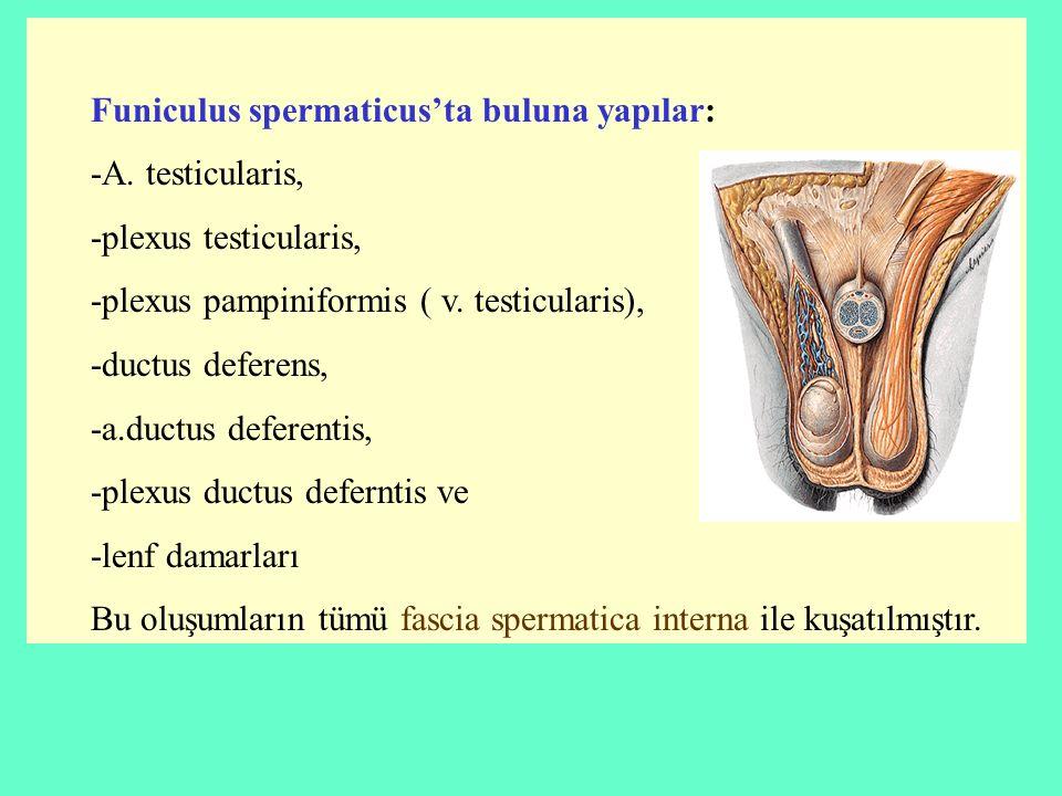 Funiculus spermaticus'ta buluna yapılar: