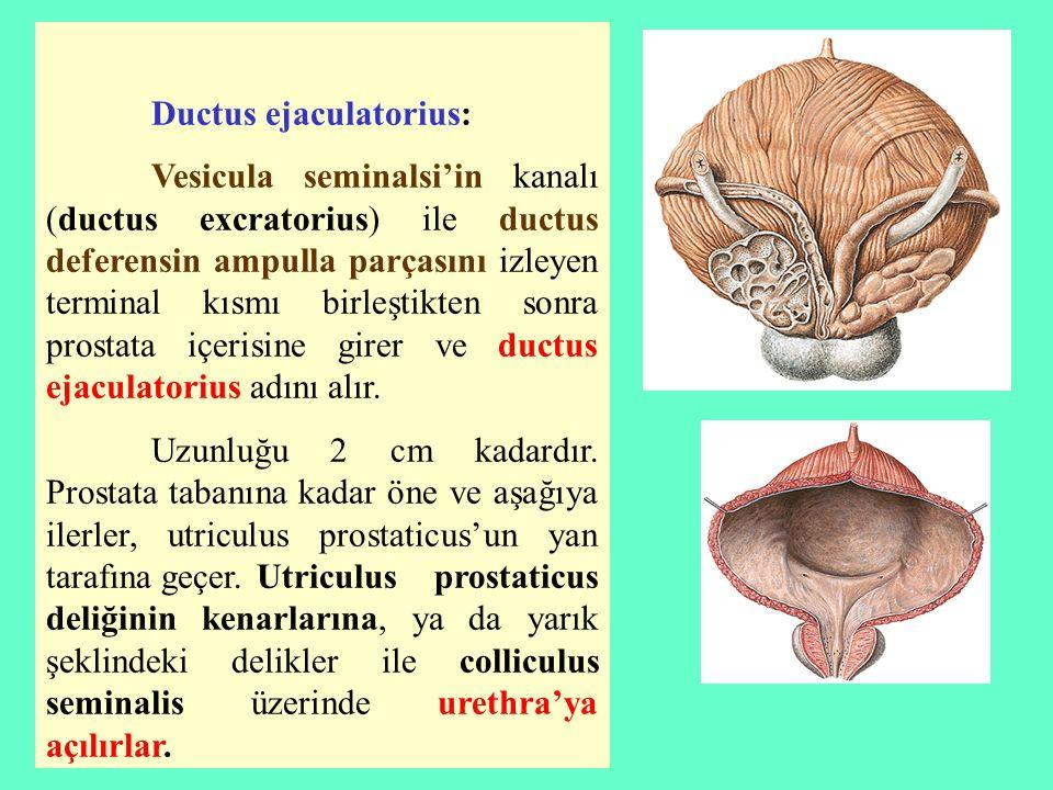 Ductus ejaculatorius: