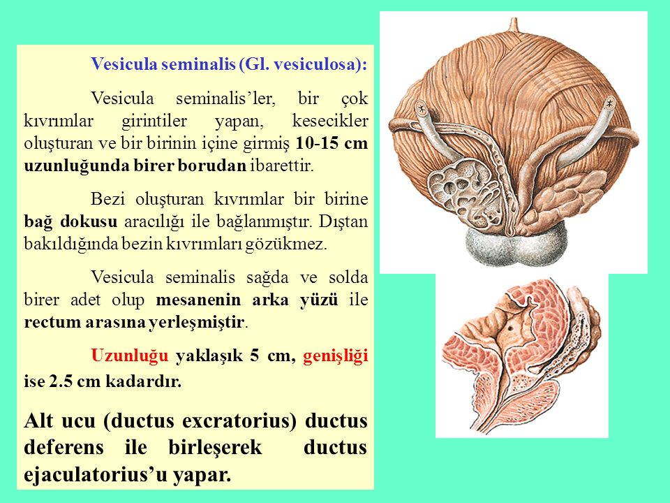 Vesicula seminalis (Gl. vesiculosa):