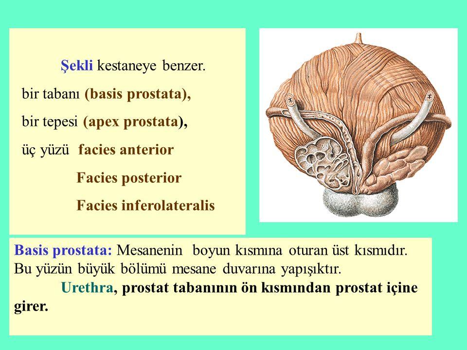 bir tabanı (basis prostata), bir tepesi (apex prostata),