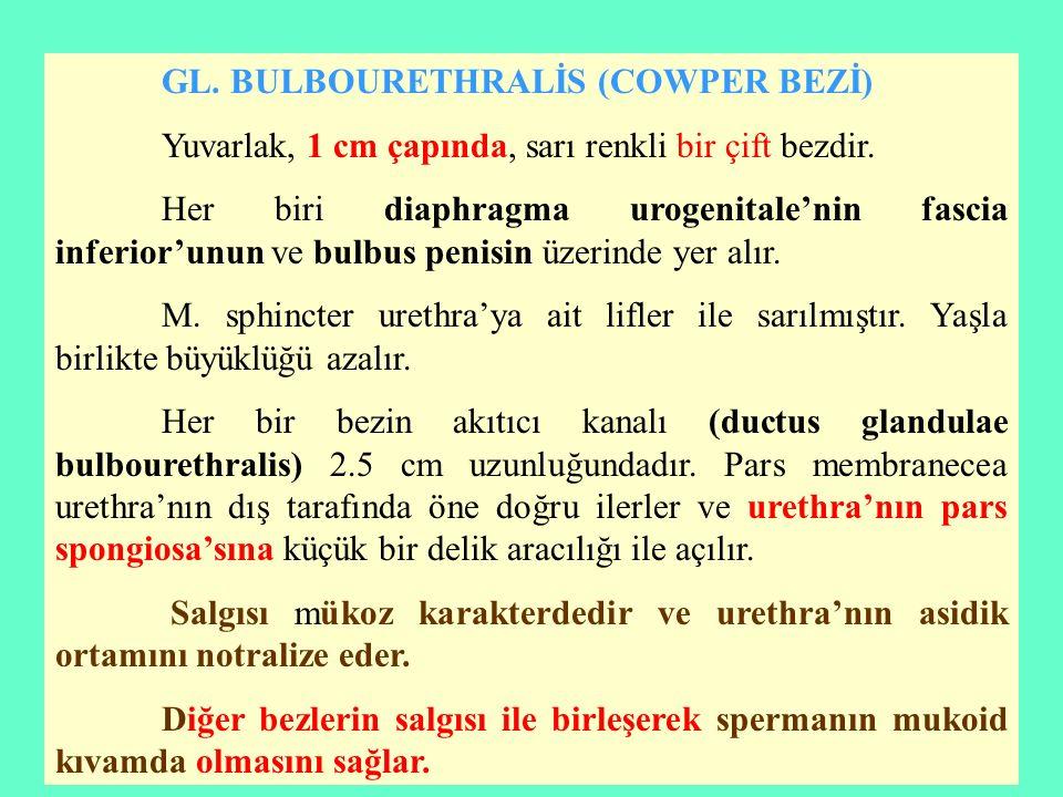 GL. BULBOURETHRALİS (COWPER BEZİ)