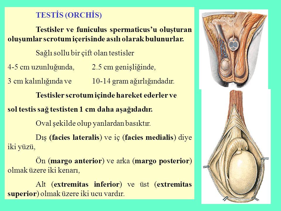 TESTİS (ORCHİS) Testisler ve funiculus spermaticus'u oluşturan oluşumlar scrotum içerisinde asılı olarak bulunurlar.