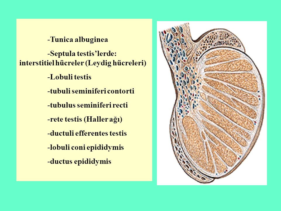 -Tunica albuginea -Septula testis'lerde: interstitiel hücreler (Leydig hücreleri) -Lobuli testis. -tubuli seminiferi contorti.
