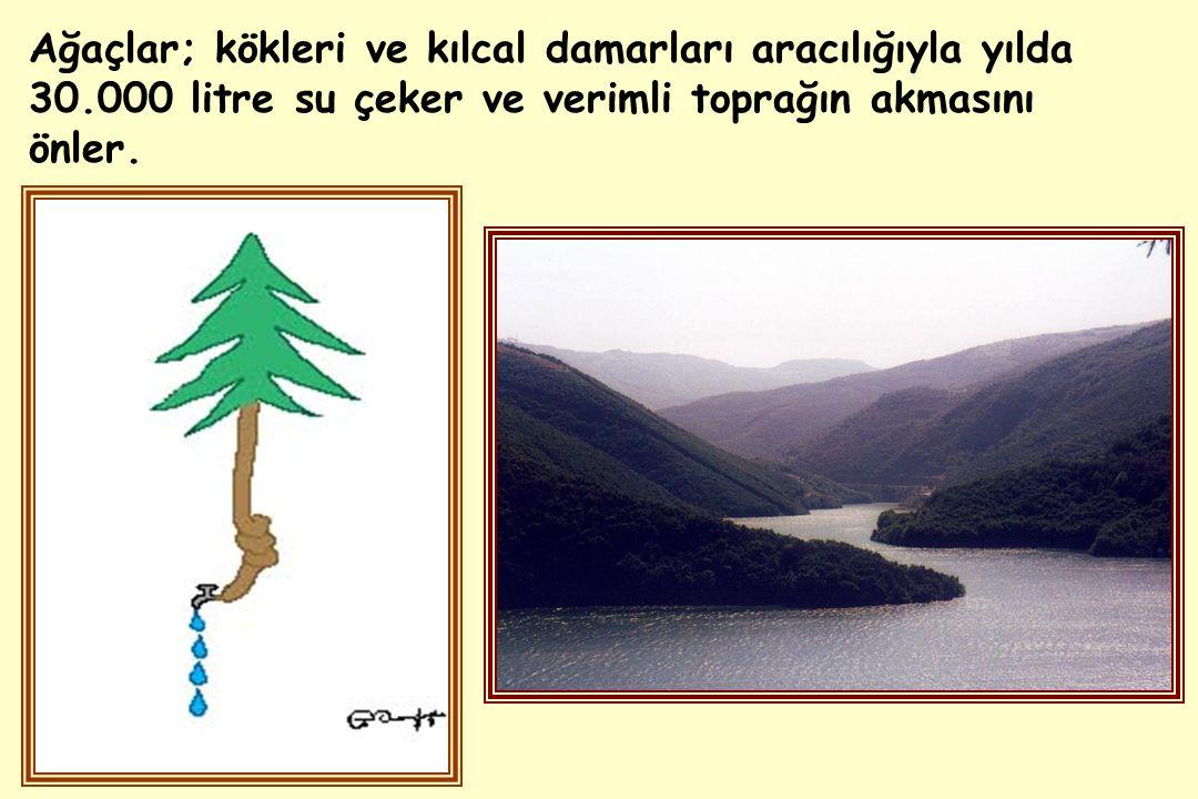 Ağaçlar; kökleri ve kılcal damarları aracılığıyla yılda 30