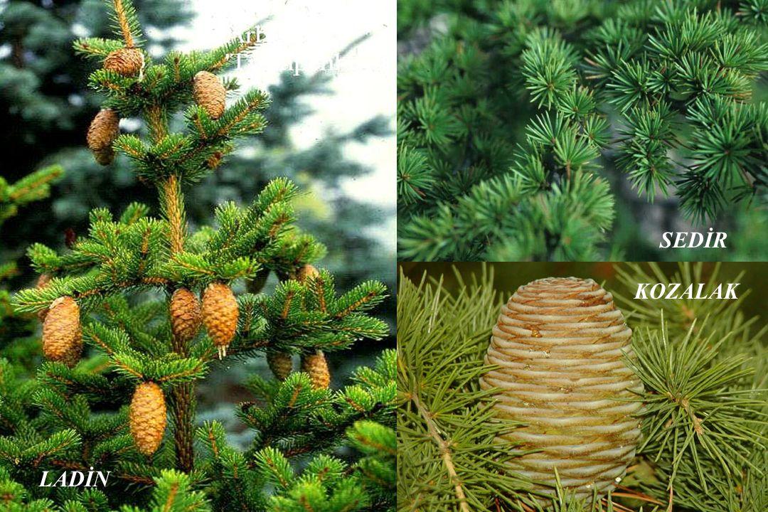 Ormanlarımız, yapraklı ve iğne yapraklı ağaçlardan oluşur.