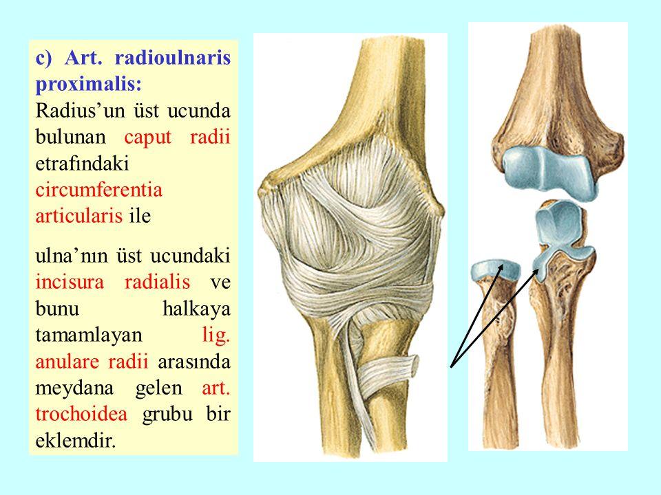c) Art. radioulnaris proximalis: Radius'un üst ucunda bulunan caput radii etrafındaki circumferentia articularis ile