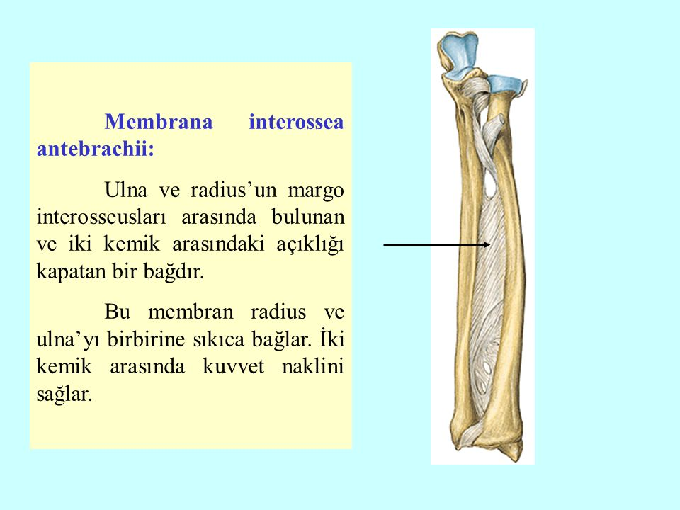 Membrana interossea antebrachii: