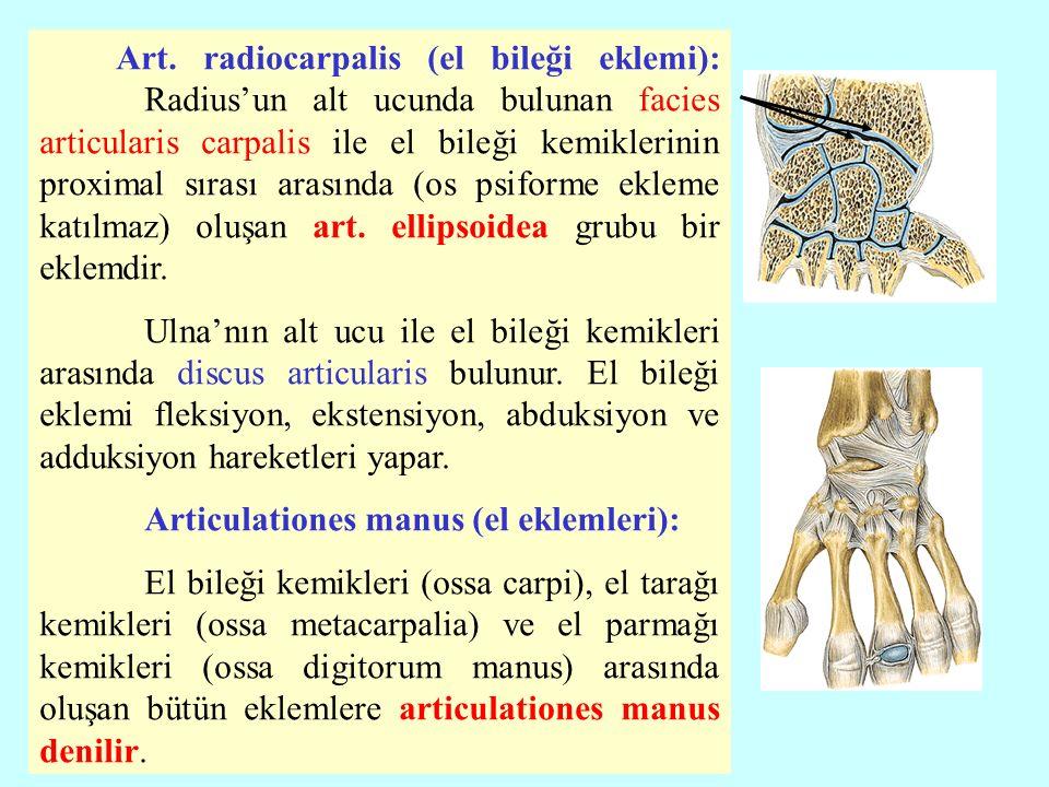 Art. radiocarpalis (el bileği eklemi):