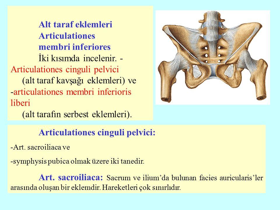 Alt taraf eklemleri Articulationes membri inferiores
