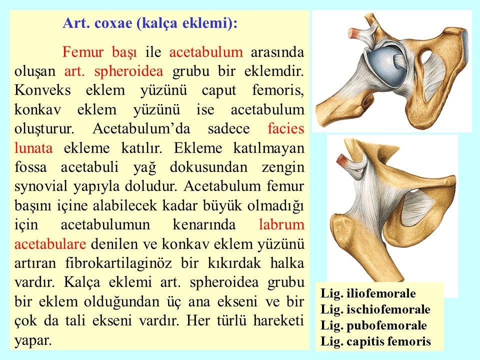 Art. coxae (kalça eklemi):