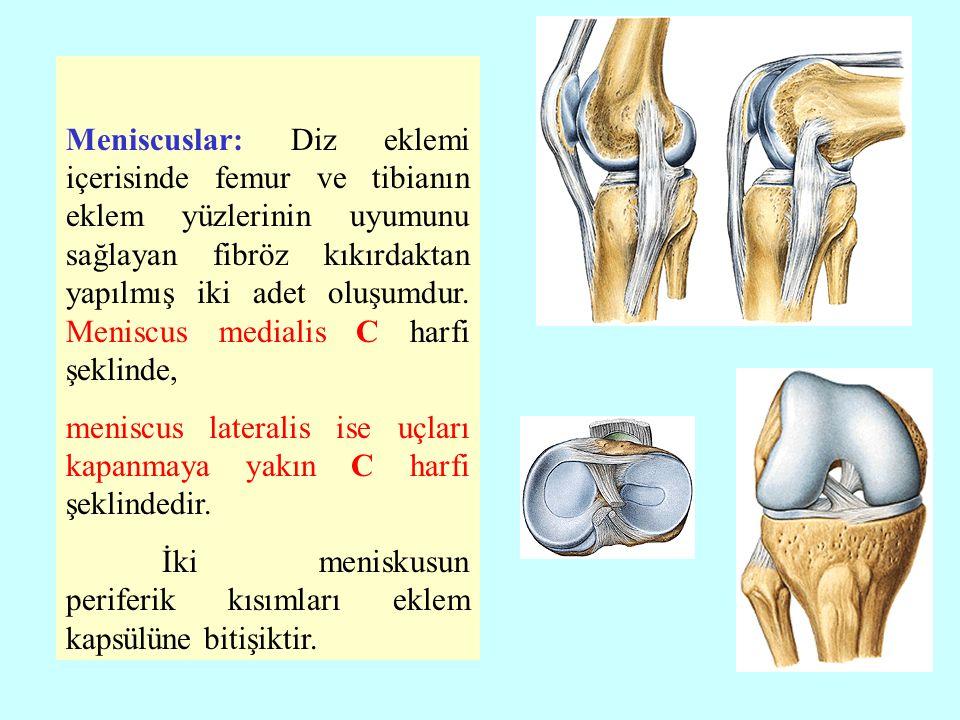 Meniscuslar: Diz eklemi içerisinde femur ve tibianın eklem yüzlerinin uyumunu sağlayan fibröz kıkırdaktan yapılmış iki adet oluşumdur. Meniscus medialis C harfi şeklinde,