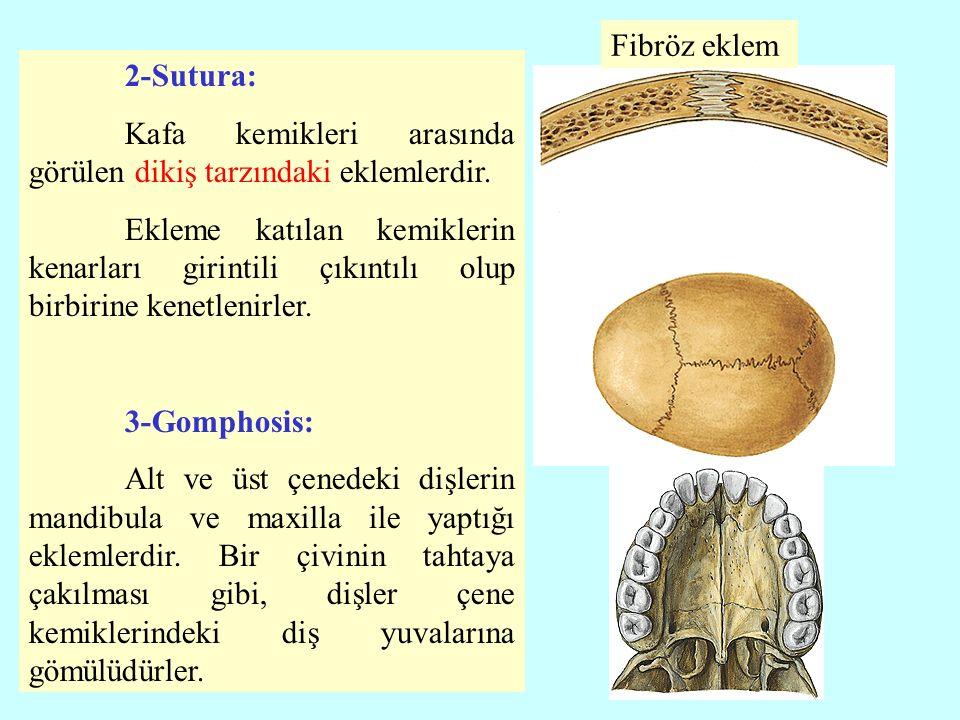 Fibröz eklem 2-Sutura: Kafa kemikleri arasında görülen dikiş tarzındaki eklemlerdir.